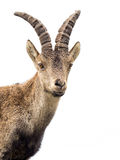 Young alpine ibex male portrait isolated on white royalty free stock photos