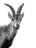Young alpine ibex male portrait isolated on white Royalty Free Stock Images
