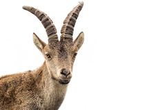 Young alpine ibex male portrait isolated on white Royalty Free Stock Photography