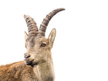 Young alpine ibex male portrait isolated on white Royalty Free Stock Photo