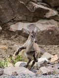 Young alpine ibex standing on its hind legs mid-jump stock images
