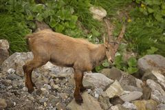 Young alpine ibex, view from close-up Royalty Free Stock Photography