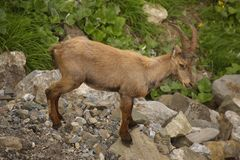 Young alpine ibex, view from close-up Royalty Free Stock Photo