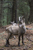 Young alpine ibex in a wood Stock Photography