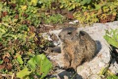 Young alpine marmot. Curious young alpine marmot cub in the European Alps of Malbun, Liechtenstein royalty free stock photography