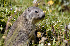 Young Alpine marmot in grass Royalty Free Stock Photos