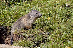 Young Alpine marmot in grass. Closeup young Alpine marmot Marmota marmota in grass at La Plagne in the French Alps, Savoie department Royalty Free Stock Image