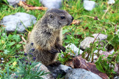 Young alpine Marmot in the mountains Stock Photos