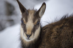 Young alps chamois. Portrait in winter with snow Stock Photos
