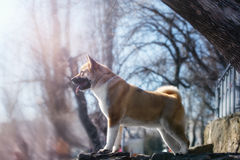 Young American Akita Dog stands on lake in forest royalty free stock image