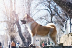 Young American Akita Dog stands on lake in forest Stock Photos