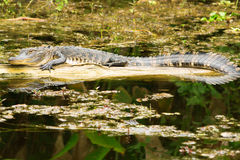 Small American Alligator Stock Photos