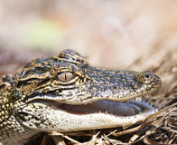 Young American Alligator. Close up Royalty Free Stock Image