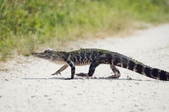 Young American Alligator Stock Image