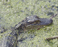Young American Alligator Royalty Free Stock Images