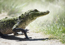 Young American Alligator. In Florida Wetlands Royalty Free Stock Photography