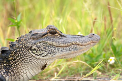 Young American alligator. Portrait of a young American alligator in a Florida swamp Stock Photography