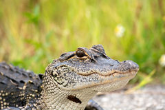 Young American alligator. Portrait of a young American alligator in a Florida swamp Royalty Free Stock Photography