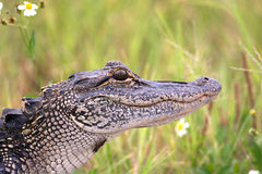 Young American alligator. Portrait of a young American alligator in a Florida swamp Stock Images