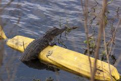 Alligator resting on barrier in lake royalty free stock photography