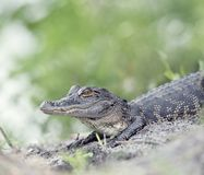 Young American Alligator. In Florida wetlands Stock Photography
