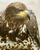 Young American Bald Eagle. A young American Bald Eagle bird sitting outside Royalty Free Stock Image