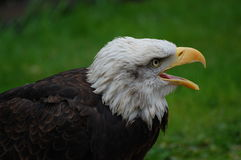 Young american bald eagle calling. Diagonal composition of bald eagle screeching for food stock photo
