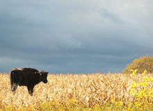 Young american bison, american buffalo. Young buffalo in a field in autumn Stock Images