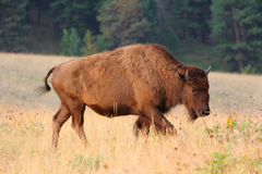 Young American Bison buffalo calf side portrait in early morning light. Young female American bison with horns walks in yellow and green grass prairie near Stock Images