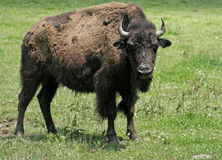 Young American Bison with Full Attention. Young American Bison at Bison Farm somewhere between Indiana and Illinois Royalty Free Stock Photography