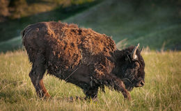 Young American Bison Gets to His Feet stock image