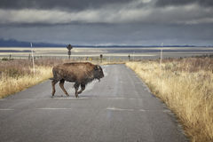 Young American bison running across road in Grand Teton National Stock Photo