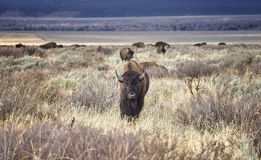 Young American bison, Wyoming, USA. Royalty Free Stock Images