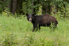Young American Black Bear forage green meadow Royalty Free Stock Photography
