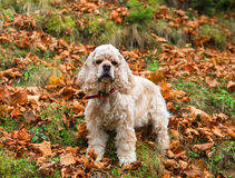 Young American cocker spaniel Stock Images