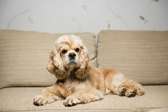Young American cocker spaniel. Lying on a beige sofa. Interior living room Stock Image
