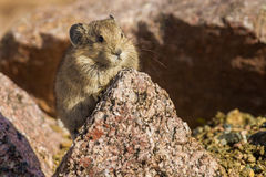 Young American Pika Royalty Free Stock Image