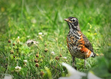 Young American Robin. Juvenile, young or baby American Robin standing in grass with one visible eye on the camera Royalty Free Stock Photos