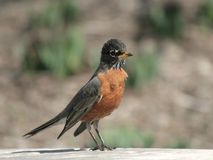 Young American Robin Bird standing on the fence Stock Photography