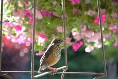 Young American robin perched in a spring garden ready to take his next flight stock images