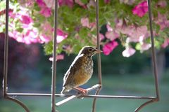 Young American robin perched in a spring garden ready to take his next flight royalty free stock photography