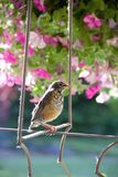 Young American robin perched in a spring garden ready to take his next flight royalty free stock image