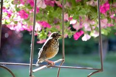 Young American robin perched in a spring garden ready to take his next flight royalty free stock photos