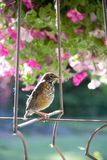 Young American robin perched in a spring garden ready to take his next flight stock photos