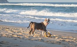 Young dog american staffordshire terrier playing on the beach royalty free stock photos