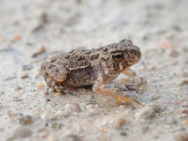 Young American Toad On Road. A very young American Toad & x28;perhaps 2cm long& x29; in Carden Alvar Provincial Park in Ontario, Canada royalty free stock photography