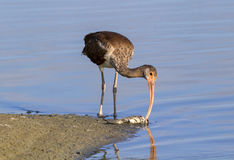 Young American white ibis (Eudocimus albus) scavenging on a dead fish on the beach Royalty Free Stock Image
