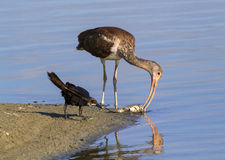 Young American white ibis (Eudocimus albus) scavenging on a dead fish on the beach Stock Image