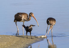 Young American white ibises (Eudocimus albus) and the common grackle (Quiscalus quiscula) scavenging on a dead fish on the beach Royalty Free Stock Images
