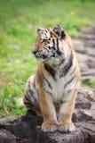 Young amur tiger Stock Photos